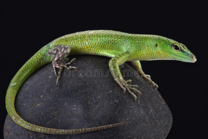 Emerald skink (Lamprophis smaragdina). The Emerald skink (Lamprophis smaragdina) is a beautiful lizard species found on Papua New Guinea and Irian Jaya royalty free stock photos