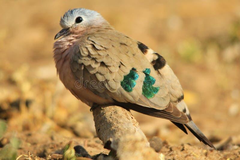 Emerald Spotted Dove - fondo colorido del pájaro - paz al mundo foto de archivo libre de regalías