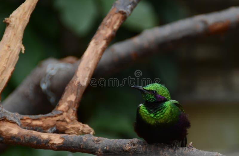 Emerald Starling auf Niederlassung stockfoto