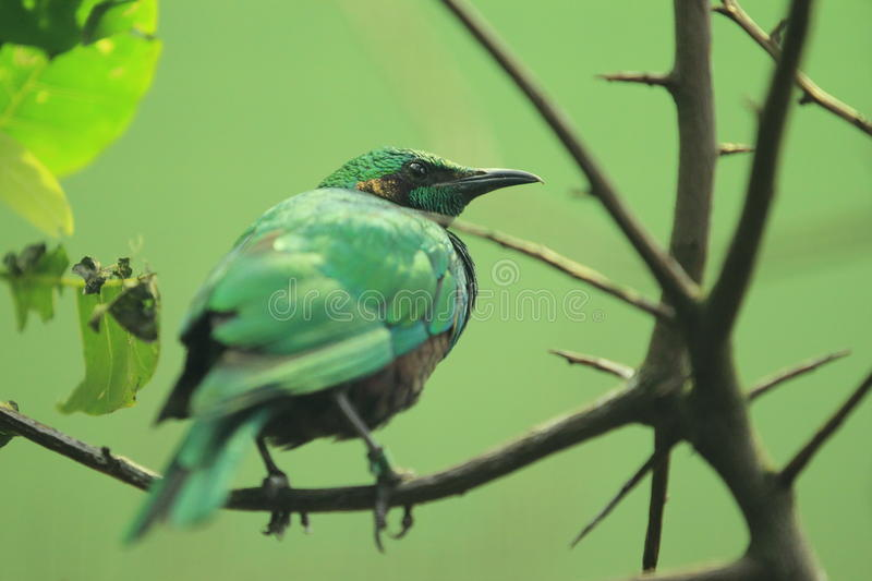 Emerald starling. The emerald starling sitting on the branch royalty free stock photo