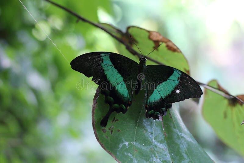 Emerald Swallowtail Butterfly royaltyfria foton