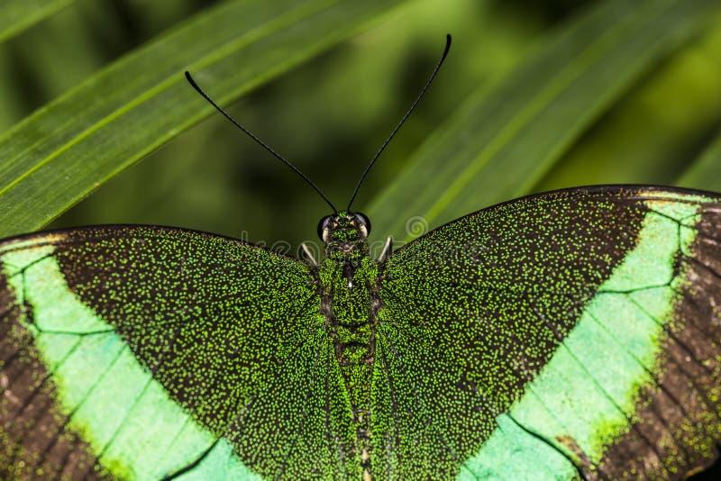 Emerald Swallowtail Butterfly royaltyfri fotografi