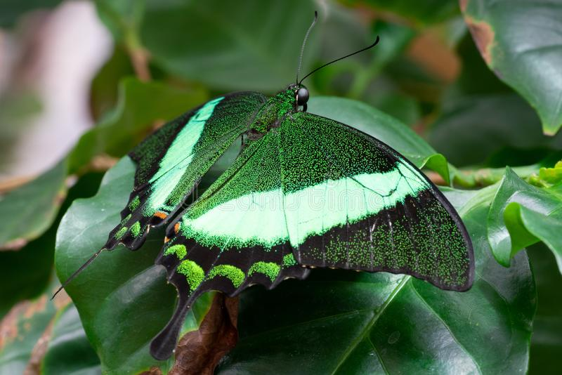 Emerald swallowtail, Papilio palinurus. Emerald swallowtail Papilio palinurus, close-up of the butterfly royalty free stock image