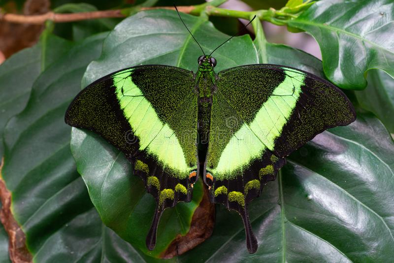 Emerald swallowtail, Papilio palinurus. Emerald swallowtail Papilio palinurus, close-up of the butterfly stock photography