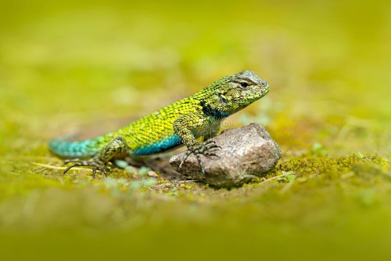 Emerald Swift Caresheet, malachiticus del Sceloporus, en el hábitat de la naturaleza Retrato hermoso del lagarto raro de Costa Ri fotografía de archivo libre de regalías
