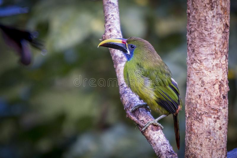 Emerald toucanet, Aulacorhynchus prasinus. Birds of Costa Rica. San Gerardo de Dota. royalty free stock photography