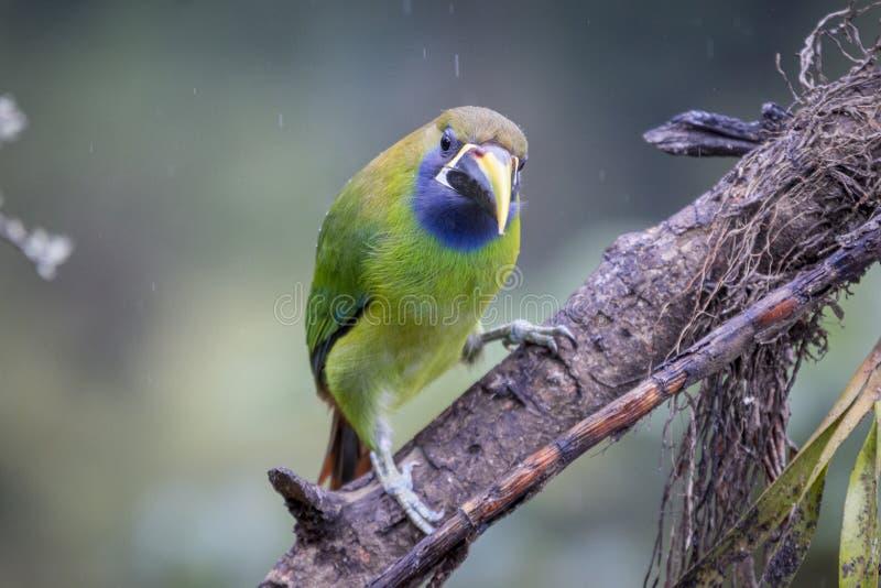 Emerald toucanet, Aulacorhynchus prasinus. Birds of Costa Rica. San Gerardo de Dota. royalty free stock photo