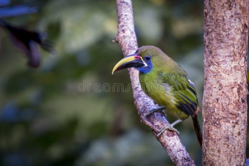 Emerald toucanet, Aulacorhynchus prasinus. Birds of Costa Rica. San Gerardo de Dota. royalty free stock image