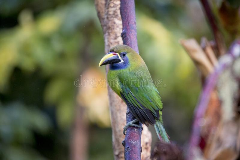 Emerald toucanet, Aulacorhynchus prasinus. Birds of Costa Rica. San Gerardo de Dota. stock photos