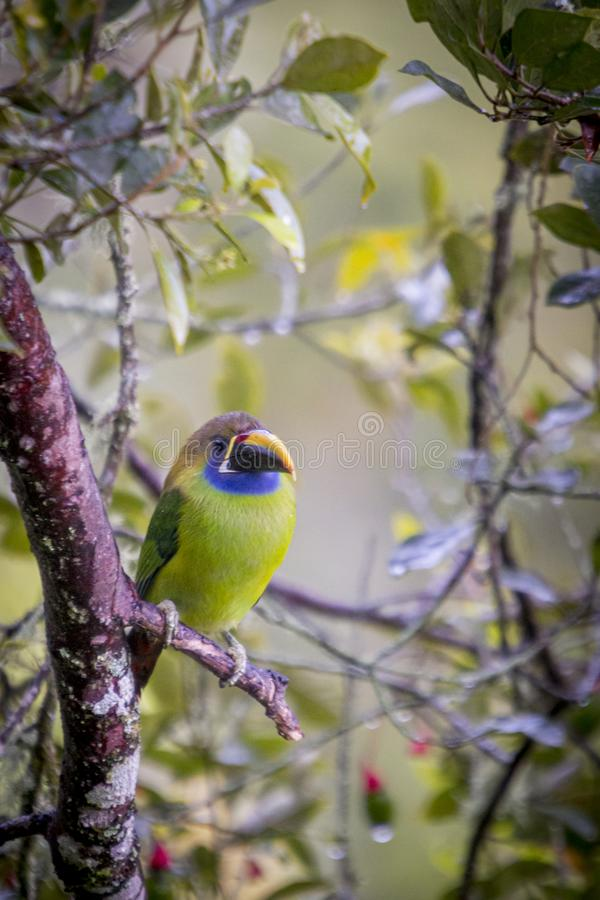 Emerald toucanet, Aulacorhynchus prasinus. Birds of Costa Rica. San Gerardo de Dota. stock photo