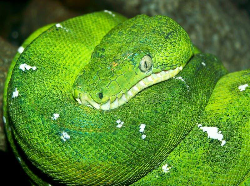 Emerald Tree Boa royalty free stock images