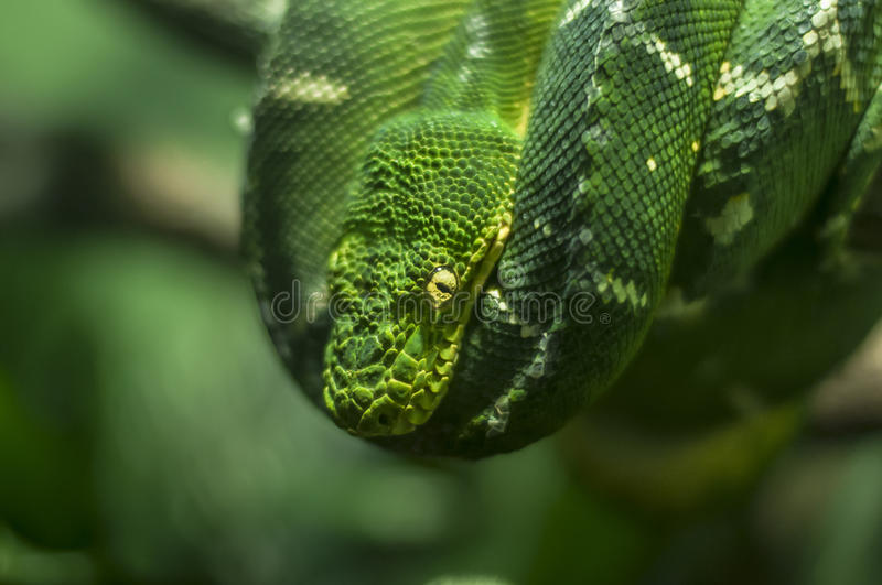 Emerald Tree Boa lizenzfreies stockbild
