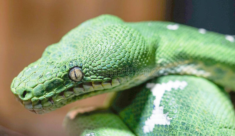 Emerald Tree Boa lizenzfreies stockfoto
