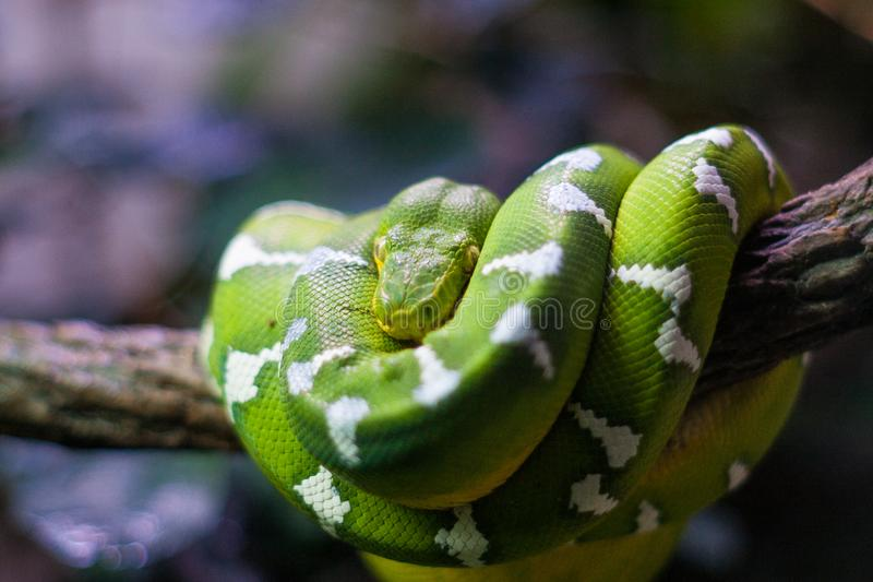 Emerald Tree Boa auf Niederlassung stockbild
