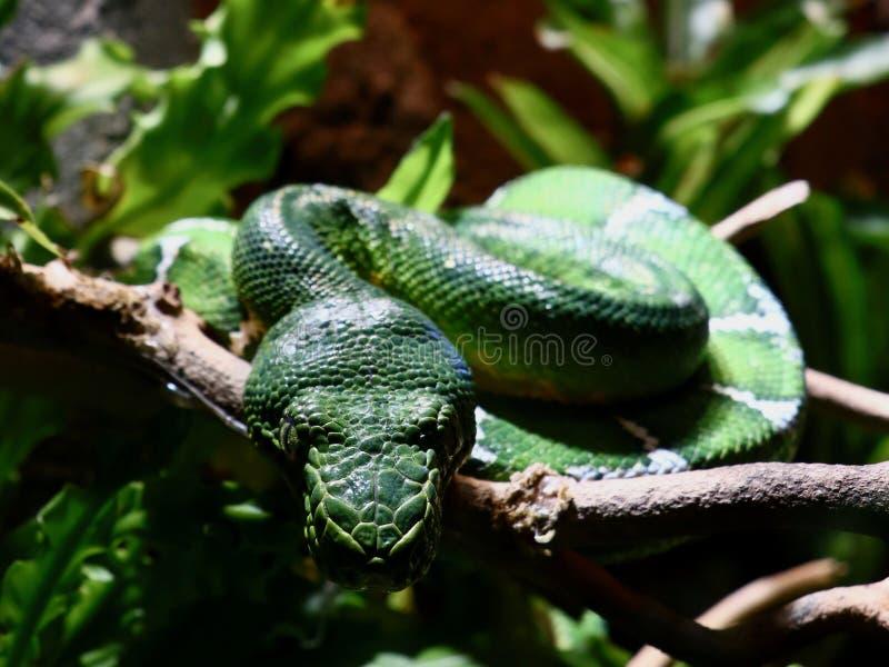 Emerald Tree Boa Blending binnen met Milieu royalty-vrije stock afbeelding