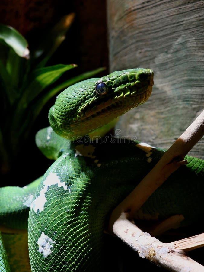 Emerald Tree Boa Blending Close para arriba fotos de archivo libres de regalías