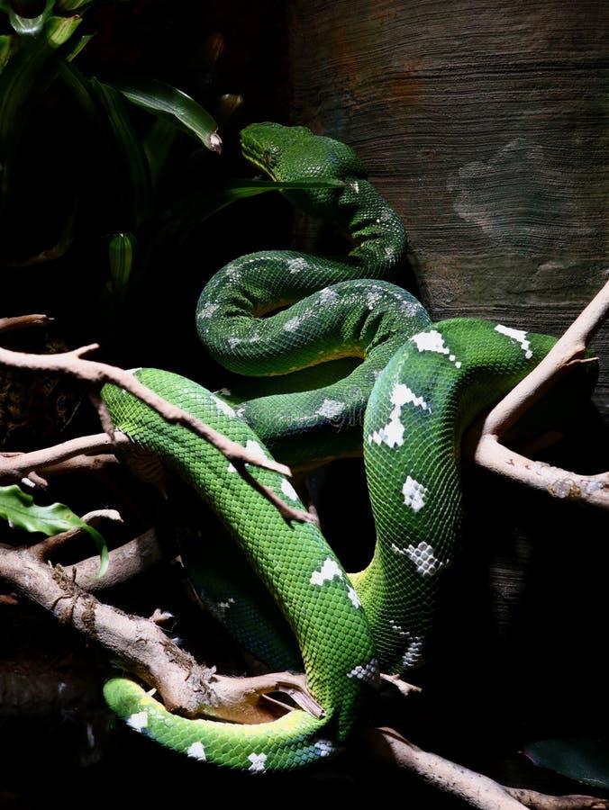 Emerald Tree Boa Blending dedans avec l'environnement images libres de droits