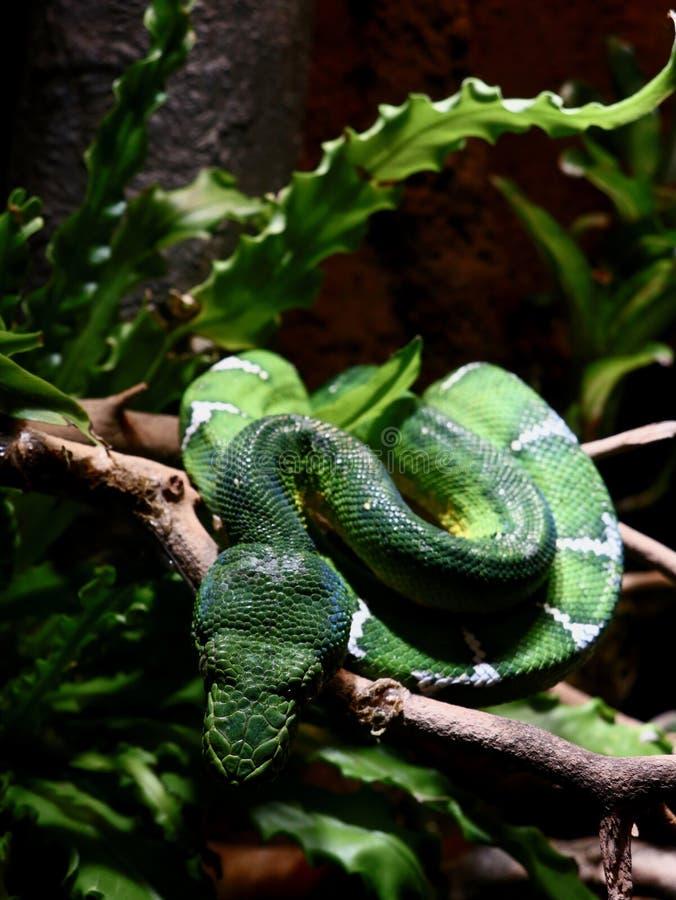 Emerald Tree Boa Blending dedans avec l'environnement image stock