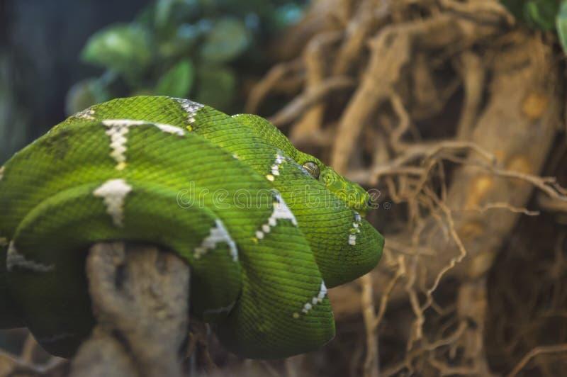Emerald Tree Boa Eine Nahaufnahme einer grünen Schlange genannt stockfotografie