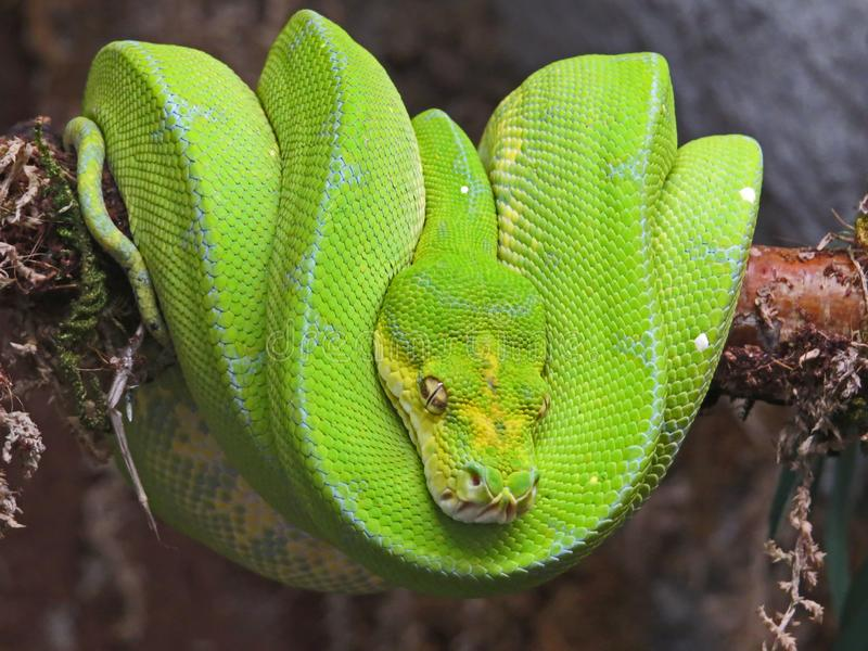 Emerald Tree Boa from South America. Exotic snake wrapped in a ball. Hanging from a branch stock photography