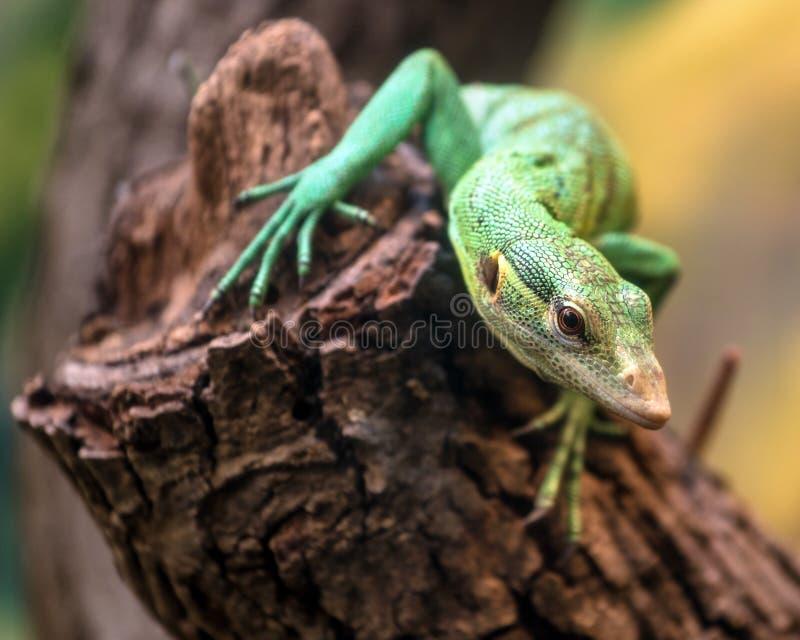 Emerald Tree Monitor, prasinus do Varanus, escalando na árvore fotografia de stock royalty free