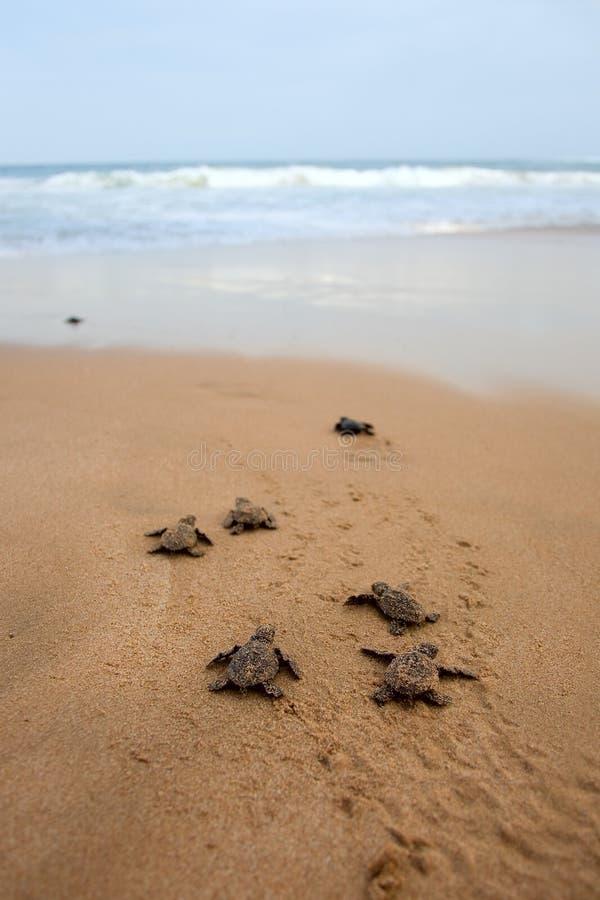 Emergência da tartaruga de mar da boba fotografia de stock