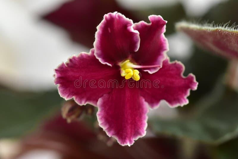 Emergência da variedade de planta da violeta africana imagem de stock royalty free