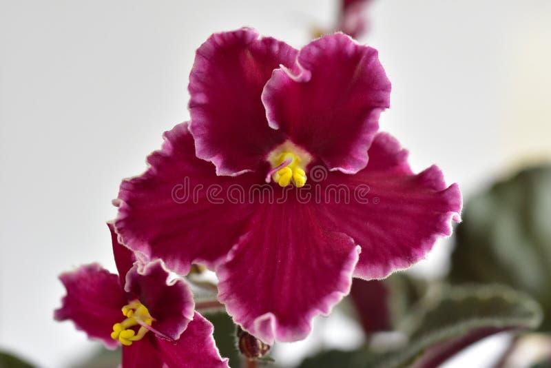 Emergência da variedade de planta da violeta africana fotos de stock royalty free