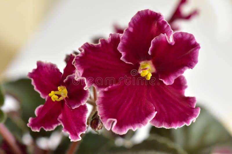 Emergência da variedade de planta da violeta africana fotografia de stock
