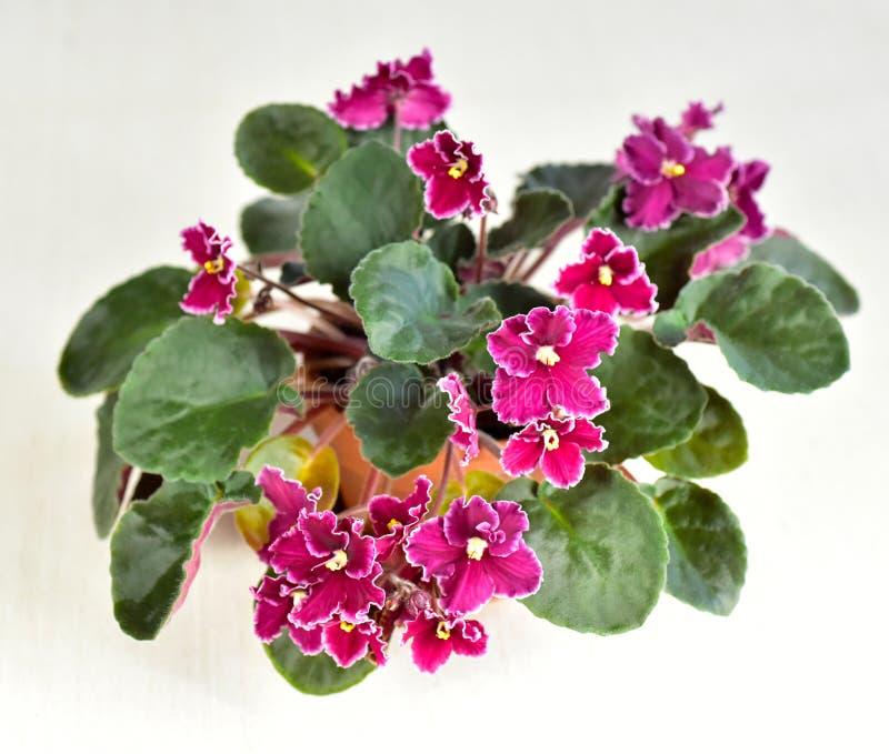 Emergência da variedade de planta da violeta africana fotografia de stock royalty free