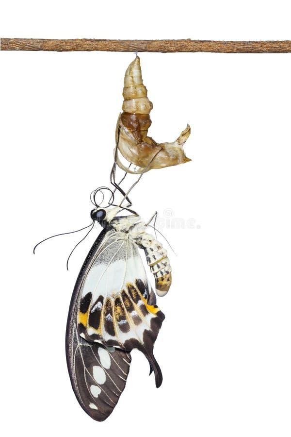 Emergin congregado aislado del demolion de Papilio de la mariposa del swallowtail fotos de archivo libres de regalías