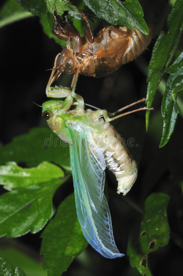 Emerging Cicada - 3 royalty free stock photography