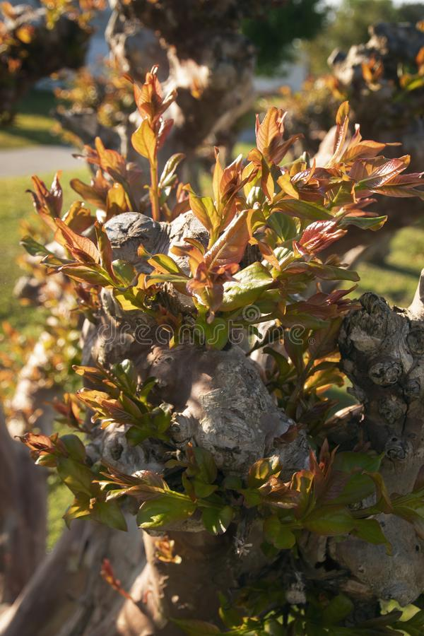 Emerging Crepe Mytrle Leaves. Crepe Myrtle trees starting to put forth new growth in a campground in New Port,North Carolina stock photography