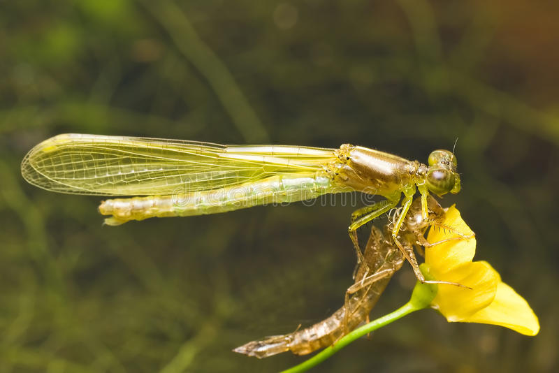 Emerging Damsel fly. A metamorphosis prcess of damsel fly stock photography