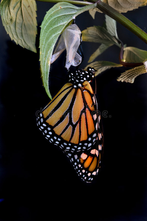 Free Emerging Monarch Royalty Free Stock Image - 242106