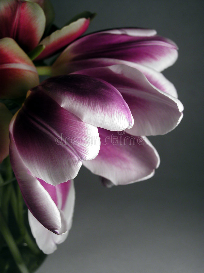 Download Emerging Spring stock photo. Image of tulip, petals, flower - 64750