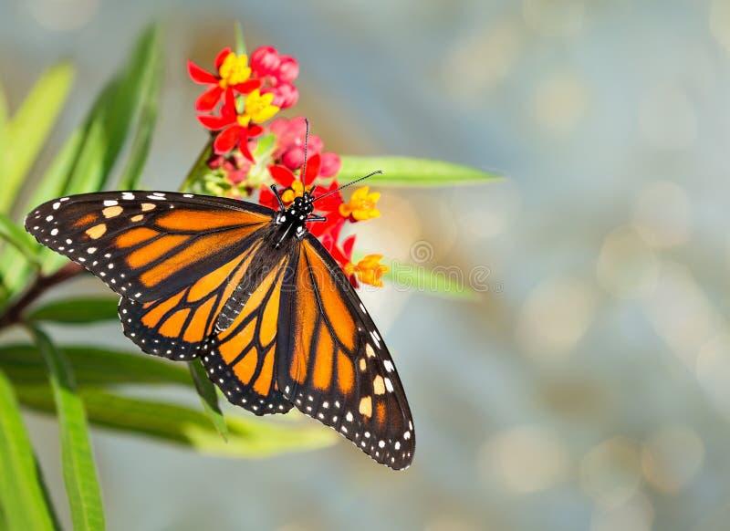 Emergiu recentemente a borboleta de monarca em flores tropicais do milkweed imagem de stock
