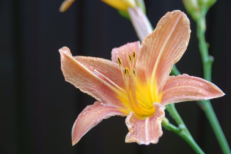 Emerocallide arancio di fulva di hemerocallis, Tawny Daylily, Tiger Daylily, emerocallide della fossa fotografie stock libere da diritti
