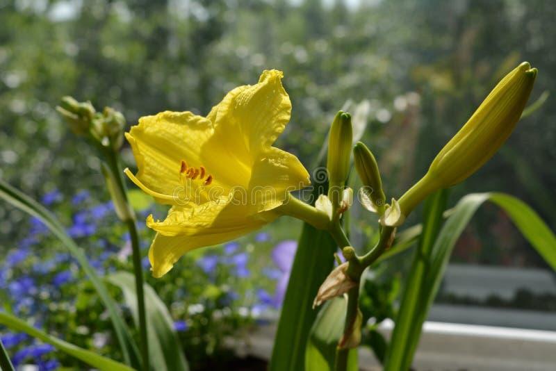 Emerocallide giallo nell'inverdimento del balcone Bello fiore nel giorno soleggiato immagine stock