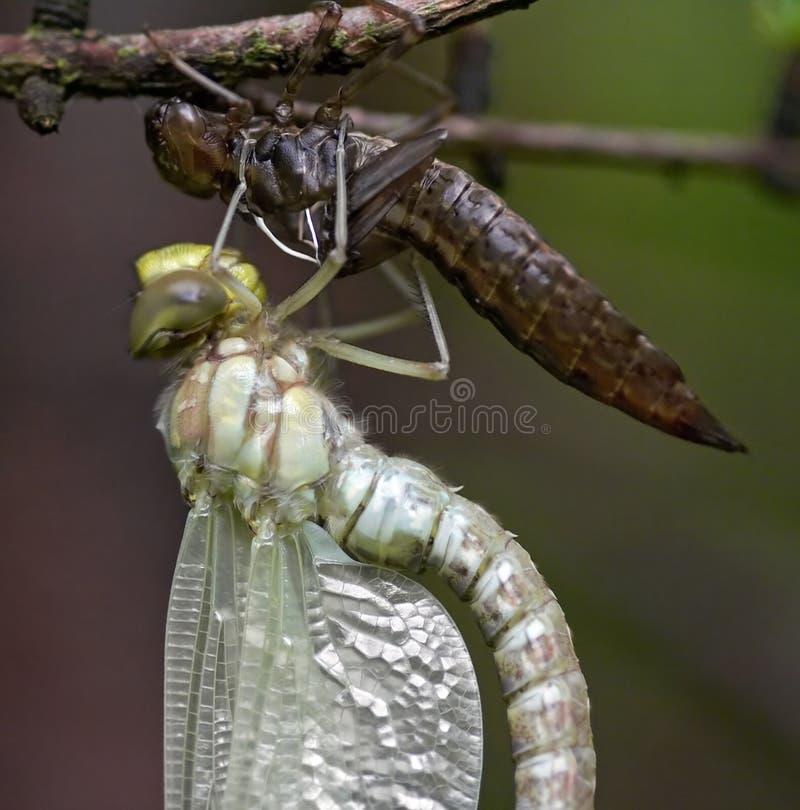 Emersione degli insetti fotografia stock