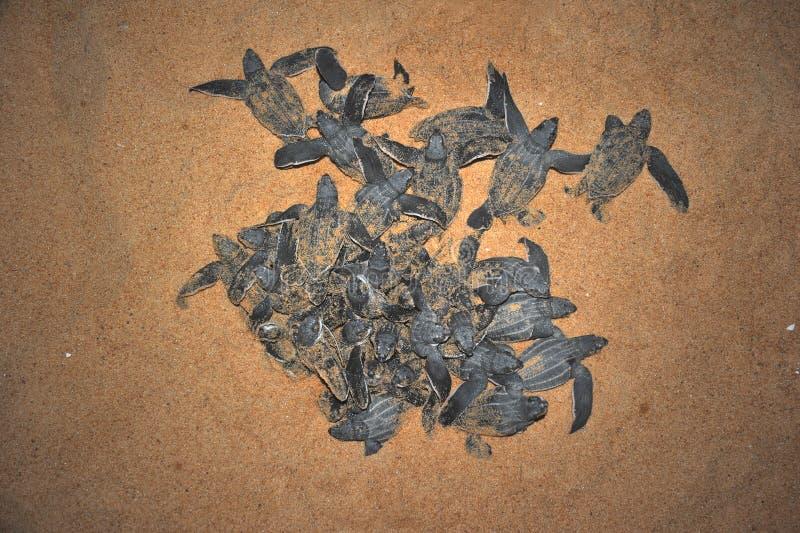 Emersione del tutle del mare di Leatherback fotografia stock libera da diritti