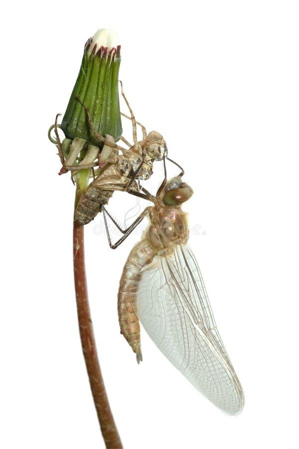 Emersione della libellula fotografie stock libere da diritti