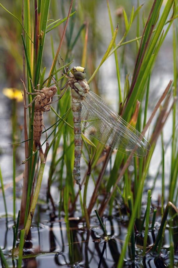 Emersione della mosca del drago fotografia stock