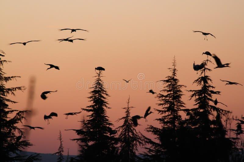 Emigration av storken royaltyfri fotografi