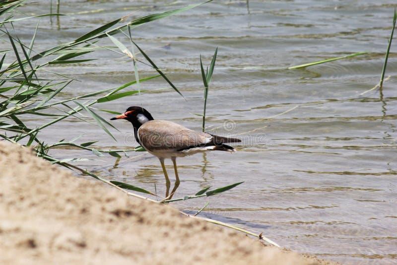 EMIRATOS ÁRABES DE DUBAI-UNITED EL 21 DE JULIO DE 2017 Un pájaro de bebé solitario en la orilla del lago de AL-QUDRA foto de archivo libre de regalías