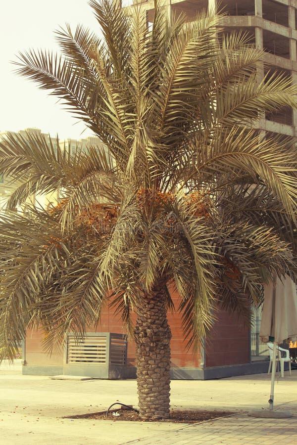 EMIRATOS ÁRABES DE DUBAI-UNITED EL 21 DE JUNIO DE 2017 Palmera de la fecha cerca de la CALA de AJMAN imagen de archivo libre de regalías