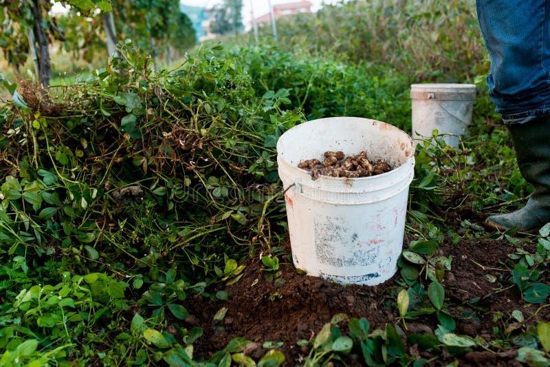 Emmerhoogtepunt van pinda's op gebied tijdens oogsttijd, met zichtbare benen van landbouwer royalty-vrije stock foto