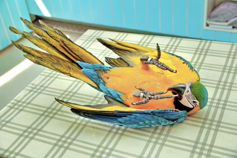 Emoções brilhantes bonitas do ` s das crianças da arara azul e amarela de 3 meses fotografia de stock
