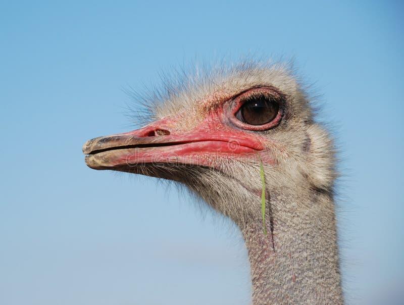 Emoções da avestruz foto de stock royalty free