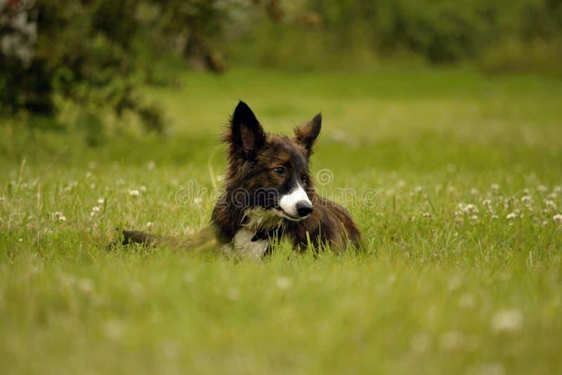Emociones de animales Perro enérgico joven en un paseo Educación de los perritos, cynology, entrenamiento intensivo de perros jov fotografía de archivo libre de regalías